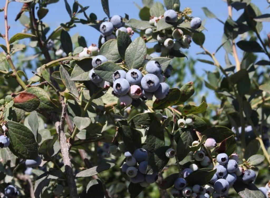 Lassens, Lassen's, Lassen's Natural Foods and Vitamins, Organic Farmers, Local Farmers, Support local farmers, Forbidden Farms Blueberreis