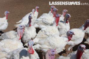 Sheltons+turkey, thanksgiving+turkey, natural+turkey, why+buy+a+natural+turkey