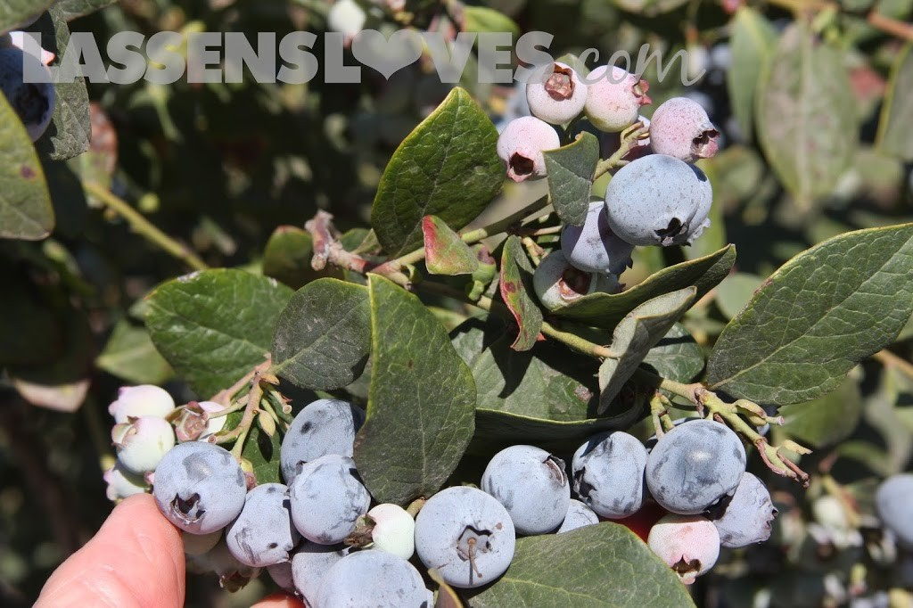 Forbidden+Farms+Blueberries, Sandra+Newman, Organic+farming, organic+blueberries