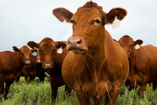 beef+cattle, beef+sources