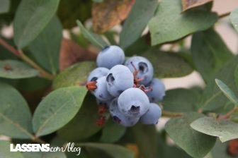 lassens.com/blog, lassensloves, organic+blueberries, local+blueberries, organic+local,, blueberry+growers