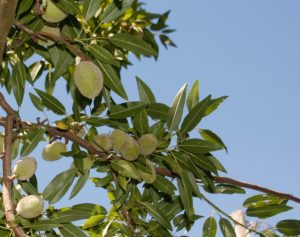 Lassens, Lassen's, Lassens Natural Foods and Vitamins, Almonds, Bulk Almonds, Organic Almonds,